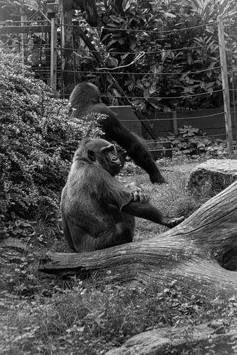 Gorilla aap  van