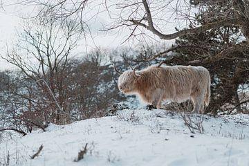 Schotse Hooglander in de sneeuw van Jonai