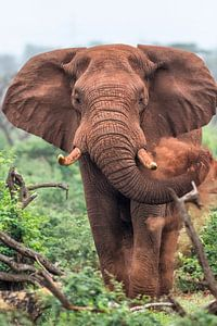Savanneolifant (Loxodonta africana) mannetje, Zuid-Afrika