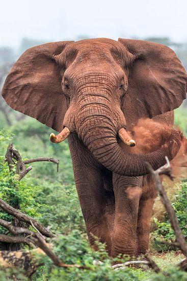 Savanneolifant (Loxodonta africana) mannetje, Zuid-Afrika van Nature in Stock