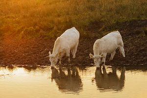 Witte koeien, drinkend bij zonsondergang van