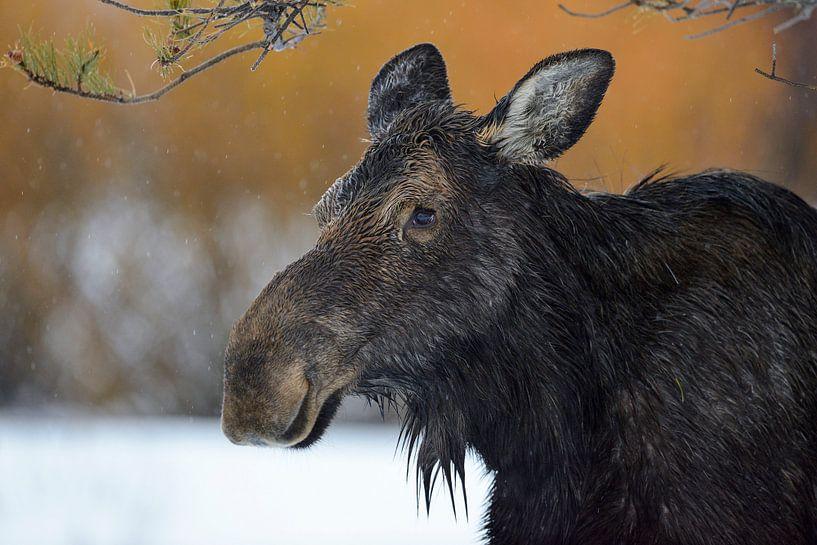 Moose ( Alces alces ) in winter, headshot of an adult female van wunderbare Erde