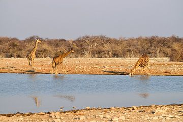 Giraffen am Pool von Merijn Loch