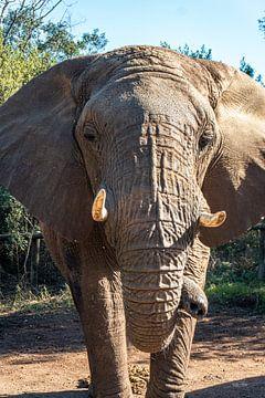 Wees olifant van Pepijn van der Putten