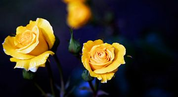 Gelbe Rosen auf Blau von Petro Luft