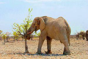 Afrikaanse olifant eet verse blaadjes, Namibië