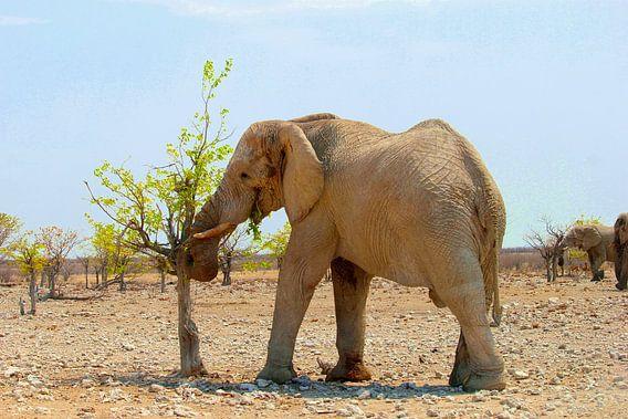 Afrikaanse olifant eet verse blaadjes, Namibië  van Inge Hogenbijl