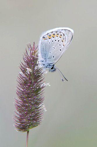 Vals Heideblauwtje van