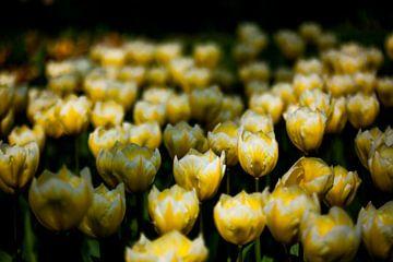 Tulpen von Ad van Geffen