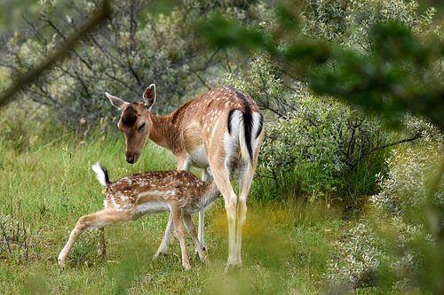 Zogende Moeder Hert en jong van Gerjo Horsman