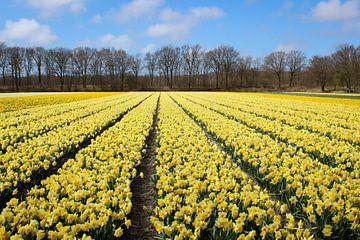 Gelbe Blumenfelder in den Niederlanden von Robin Jongerden