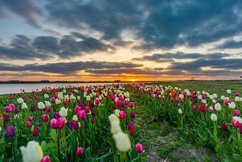 Tulpen veld in Zeewolde. Flevoland
