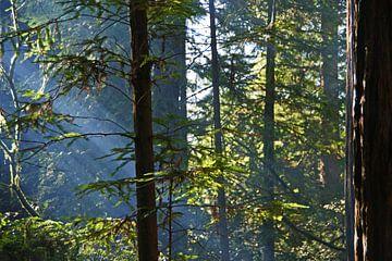 Sonnenstrahlen scheinen durch die Redwoods in Kalifornien von Jeroen van Deel