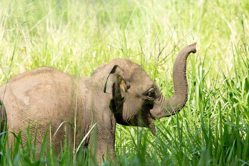 Olifantje in Sri Lanka van Gijs de Kruijf