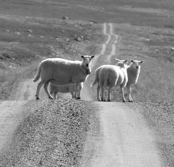 Schapen op een ongeasfalteerde weg in Noorwegen. van Erica Pijs