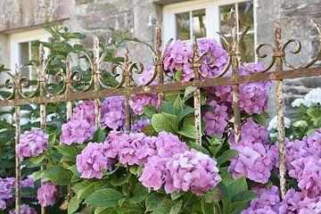 Fascinants hortensias dans un jardin français. sur Christa Stroo fotografie
