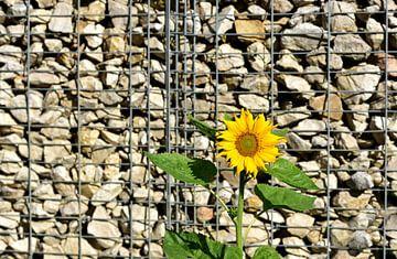 Eine sonnenblume vor einer Steinmauer von Ulrike Leone