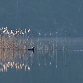 Black-throated Loon / Arctic Loon ( Gavia arctica ), swimming in front of a reed belt, on a hazy mor van wunderbare Erde