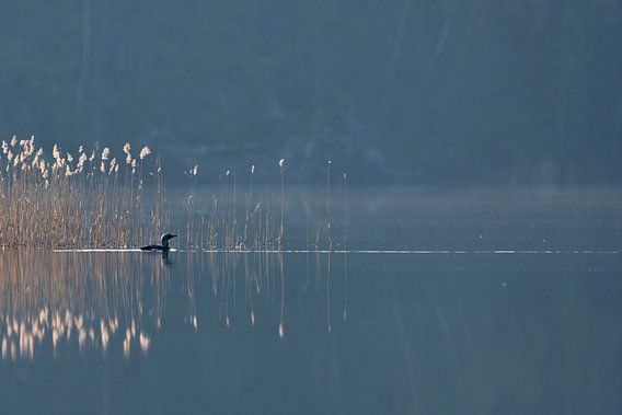 Zwartkopduiker ( Gavia arctica ) zwemmend tegen het licht op een wazige dag voor het riet