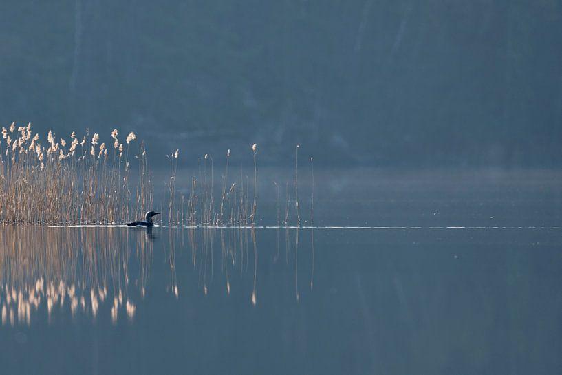 Zwartkopduiker ( Gavia arctica ) zwemmend tegen het licht op een wazige dag voor het riet van wunderbare Erde