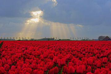 Rode tulpen  von Michel van Kooten