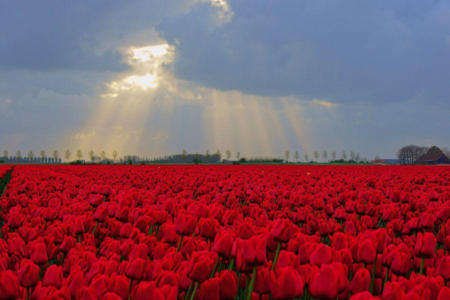 Rode tulpen  van Michel van Kooten