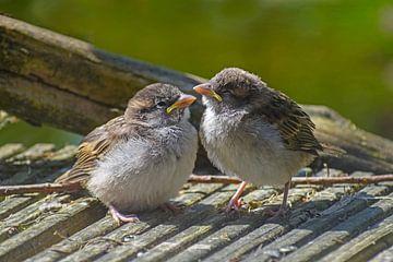 Twee schattige jonge babyvogels, House Sparrows (Passer domesticus) zitten op grijs hout en wachten  van Maren Winter
