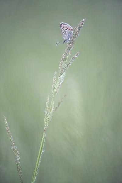 Heideblauwtje in de dauw. van Francis Dost