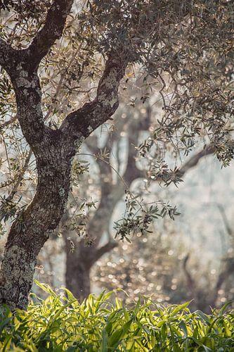 olijfbomen in Portugal van Huib Vintges