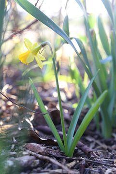 Versteckte erste Blume von Hannelore