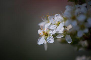 Weiße Blüte im Rampenlicht von Lizet Wesselman