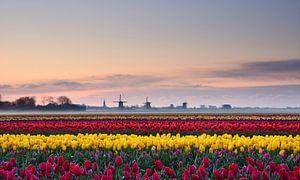 Tulpen bij zonsopkomst