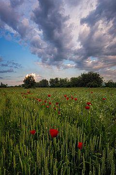 Poppy Field von Rilind Hoxha