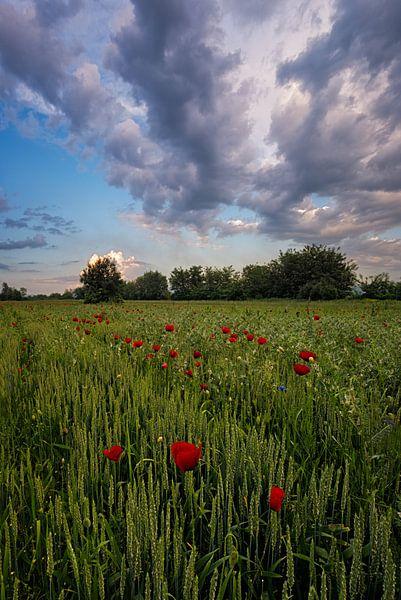 Poppy Field van Rilind Hoxha