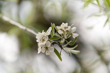 Witte bloesem van Maja Mars
