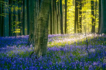 Glockenblumen Hallerbos von Peter Poppe