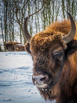 Europäischer Bison im Schnee von Erwin Floor