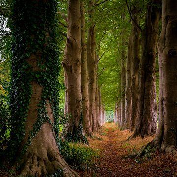 Bospad tussen statige oude bomen von Jenco van Zalk