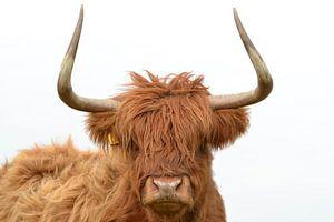 Schotse hooglander kop met grote horens