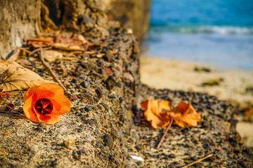 Hibiskusblüte auf den Felsen am Meer von pixxelmixx
