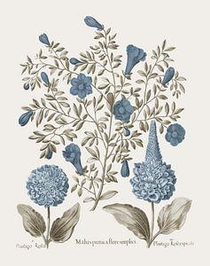 Basilius Besler-Granatapfel und Plantago