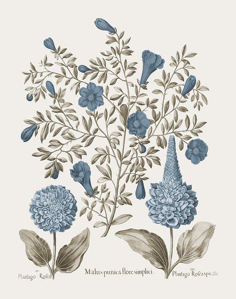 Basilius Besler-Granatapfel und Plantago von finemasterpiece