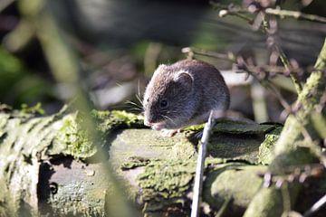 muis op een boomstam von Pascal Engelbarts