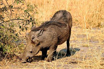 Warzenschwein/Schwarzwild von Merijn Loch