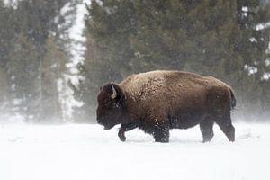 Amerikanischer Bison ( Bison bison ), Bisonbulle sucht den Weg  durch hohen Schnee, Yellowstone, USA