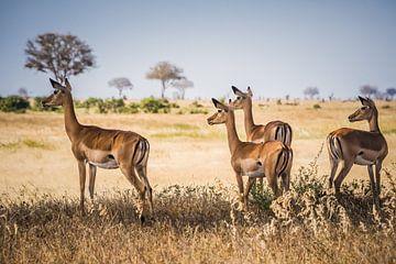 Gazelle's im Nationalpark Tsavo in Kenia von Ingrid van Wolferen