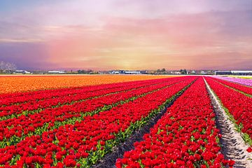 Bloeiende tulpenvelden bij zonsondergang bij Lisse van Nisangha Masselink