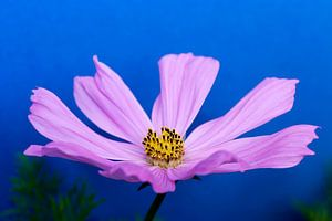 Cosmos bloem van