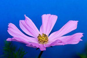 Cosmos bloem