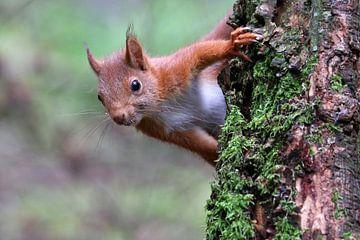 Rode eekhoorn van Edwin Butter